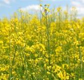 blossoming поле Стоковые Фотографии RF