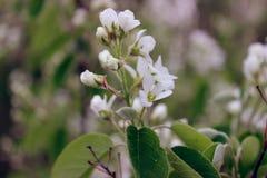 blossoming поднимающее вверх ветви близкое весной, shadberry Стоковое Изображение RF