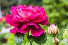 Blossoming поднял Стоковые Изображения