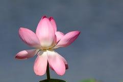 Blossoming прикаспийский лотос в перепаде Волги Стоковые Изображения
