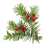 blossoming рождественская елка Стоковое Изображение