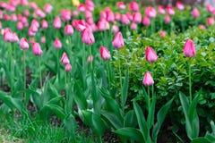 Blossoming розовые тюльпаны Стоковые Изображения