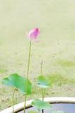 Blossoming розовый лотос Стоковая Фотография