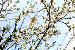 Blossoming сад весной Зацветая дерево сада сливы на предпосылке голубого неба желтый цвет весны лужка одуванчиков предпосылки пол стоковое фото