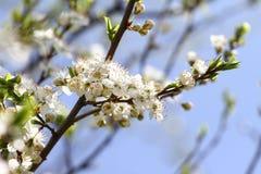 Blossoming сад весной Зацветая дерево сада сливы на предпосылке голубого неба желтый цвет весны лужка одуванчиков предпосылки пол стоковые фото