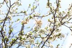Blossoming сад весной Зацветая дерево сада сливы на предпосылке голубого неба желтый цвет весны лужка одуванчиков предпосылки пол стоковая фотография rf