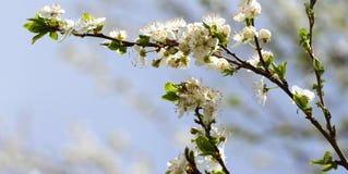 Blossoming сад весной Зацветая дерево сада сливы на предпосылке голубого неба желтый цвет весны лужка одуванчиков предпосылки пол стоковое фото rf
