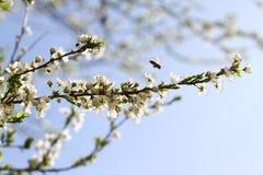 Blossoming сад весной Зацветая дерево сада сливы с пчелой желтый цвет весны лужка одуванчиков предпосылки полный Сад весны с солн стоковые изображения rf