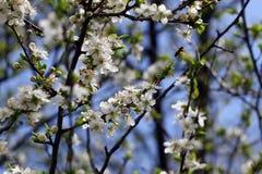 Blossoming сад весной Зацветая дерево сада сливы с пчелой желтый цвет весны лужка одуванчиков предпосылки полный Сад весны с солн стоковая фотография