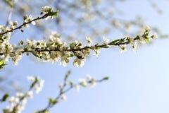 Blossoming сад весной Зацветая дерево сада сливы с пчелой желтый цвет весны лужка одуванчиков предпосылки полный Сад весны с солн стоковые фото