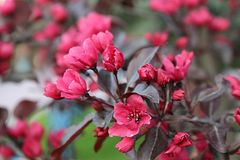 Blossoming Сакуры Стоковое Фото