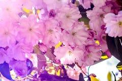 Blossoming сад вишни весна дня солнечная Селективный фокус Стоковые Изображения