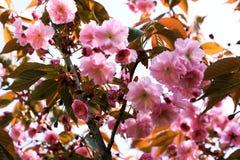 Blossoming сад вишни Стоковые Изображения RF