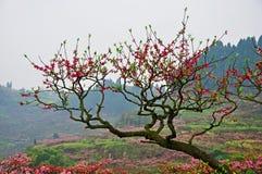 Blossoming сад персиковых дерев Стоковое Изображение