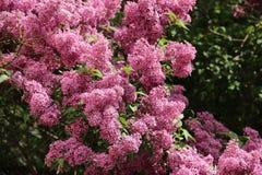 blossoming сирень Стоковые Фото