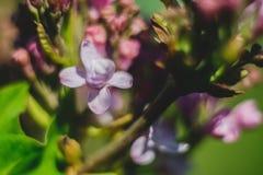 blossoming сирень Стоковое Изображение RF