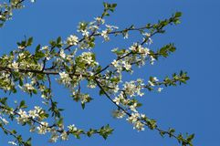 blossoming слива ветви Стоковые Изображения RF