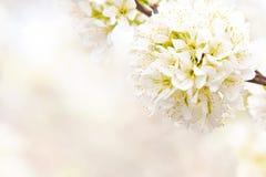 blossoming слива ветви Стоковые Фото