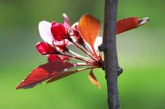 blossoming слива Стоковая Фотография