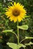 Blossoming солнцецвет в саде Стоковые Изображения RF