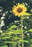 Blossoming солнцецвет в саде Стоковое фото RF