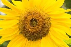 blossoming солнцецвет конец вверх Стоковые Изображения