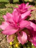 Blossoming спрятанная пинком лилия имбиря стоковое изображение rf