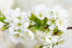 Blossoming слива Стоковые Изображения