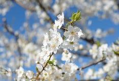 blossoming слива Стоковые Изображения RF