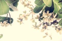 Blossoming тропический frangipani цветков в пастельных цветах с солнечным светом как тропическая предпосылка свадьбы в винтажном  Стоковое Изображение RF