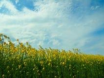 blossoming турнепс Стоковая Фотография RF