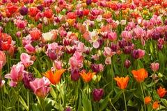Blossoming тюльпанов в парке Стоковая Фотография