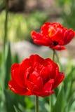 Blossoming тюльпаны в саде Стоковые Изображения