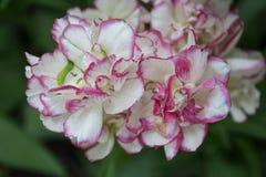 blossoming тюльпан Стоковое фото RF