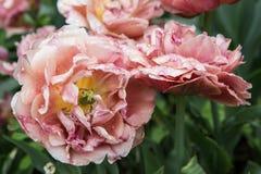 blossoming тюльпан Стоковые Фото