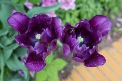 blossoming тюльпан Стоковые Фотографии RF
