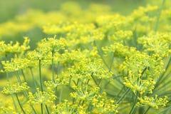 Blossoming укропы Стоковое Изображение RF
