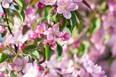 Blossoming фруктовое дерев дерево Стоковые Фотографии RF