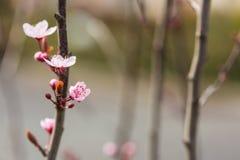 Blossoming хворостина вишни Стоковое Фото