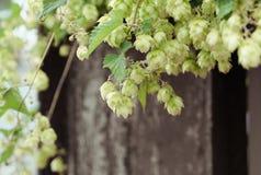 Blossoming хмели стоковые фото