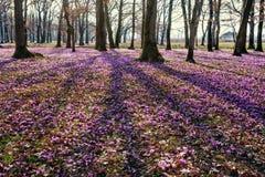 Blossoming цветки крокуса в лесе Стоковое Изображение RF