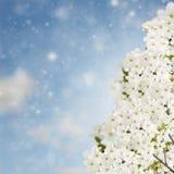 Blossoming цветки сливы на небе Стоковое Фото