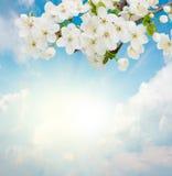Blossoming цветки сливы на предпосылке неба Стоковая Фотография RF