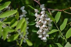 Blossoming цветки черной саранчи & x28; Pseudoacacia& x29 Robinia; висеть на ветви дерева в весеннем времени Стоковые Фото