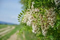 Blossoming цветки черной саранчи & x28; Pseudoacacia& x29 Robinia; висеть на ветви дерева в весеннем времени стоковое изображение