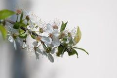 blossoming цветки Стоковое Изображение RF