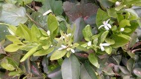 Blossoming цветков клюквы Стоковые Изображения RF