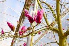 Blossoming цветков магнолии Стоковые Изображения RF