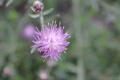 Blossoming цветок поля Стоковое фото RF