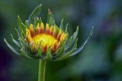 blossoming цветок Стоковые Фотографии RF